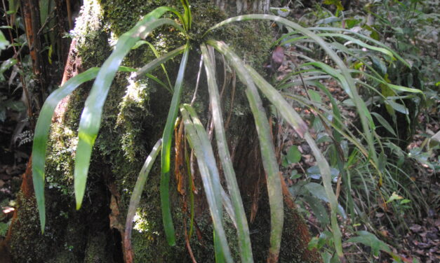 Haplopteris scolopendrina