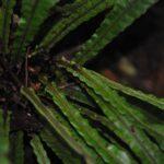 DSC_0300 (Pronephrium beccarianum)