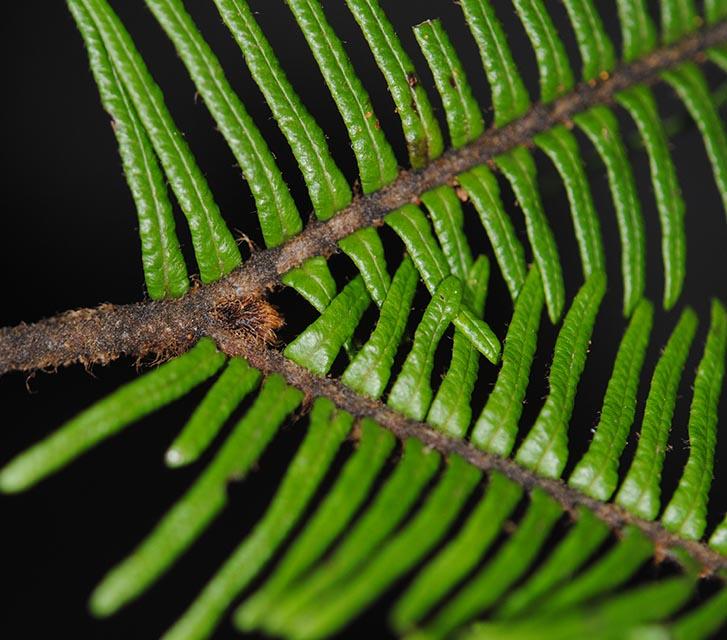 Sticherus hispidus