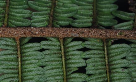 Sphaeropteris womersleyi