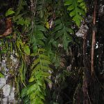Aglaomorpha parkinsonii