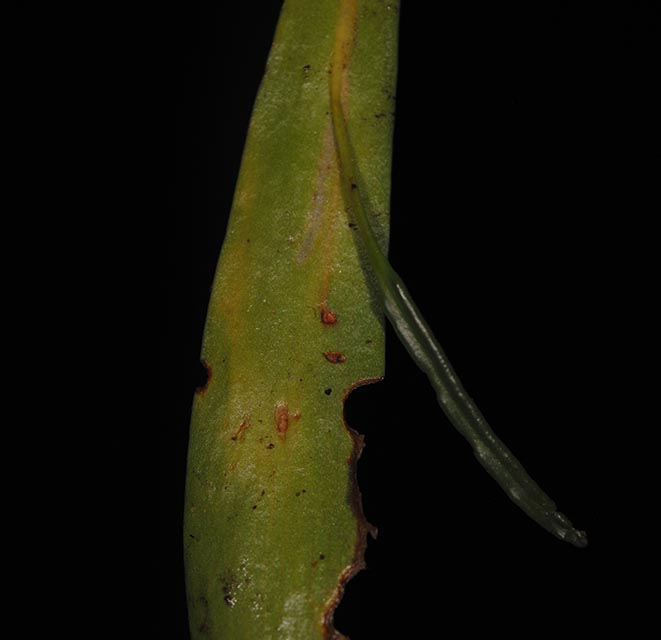Ophioderma falcata