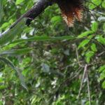Lepisorus mucronatus