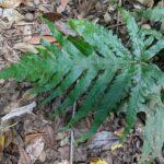 Tectaria confluens