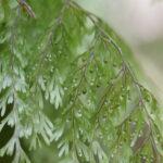 Hymenophyllum polyanthos