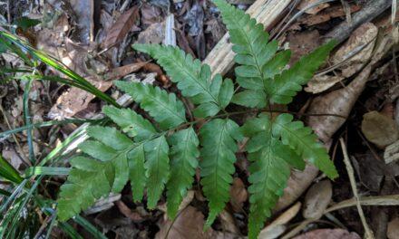 Queensland Indet., Lastreopsis?