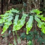 Lygodium reticulatum