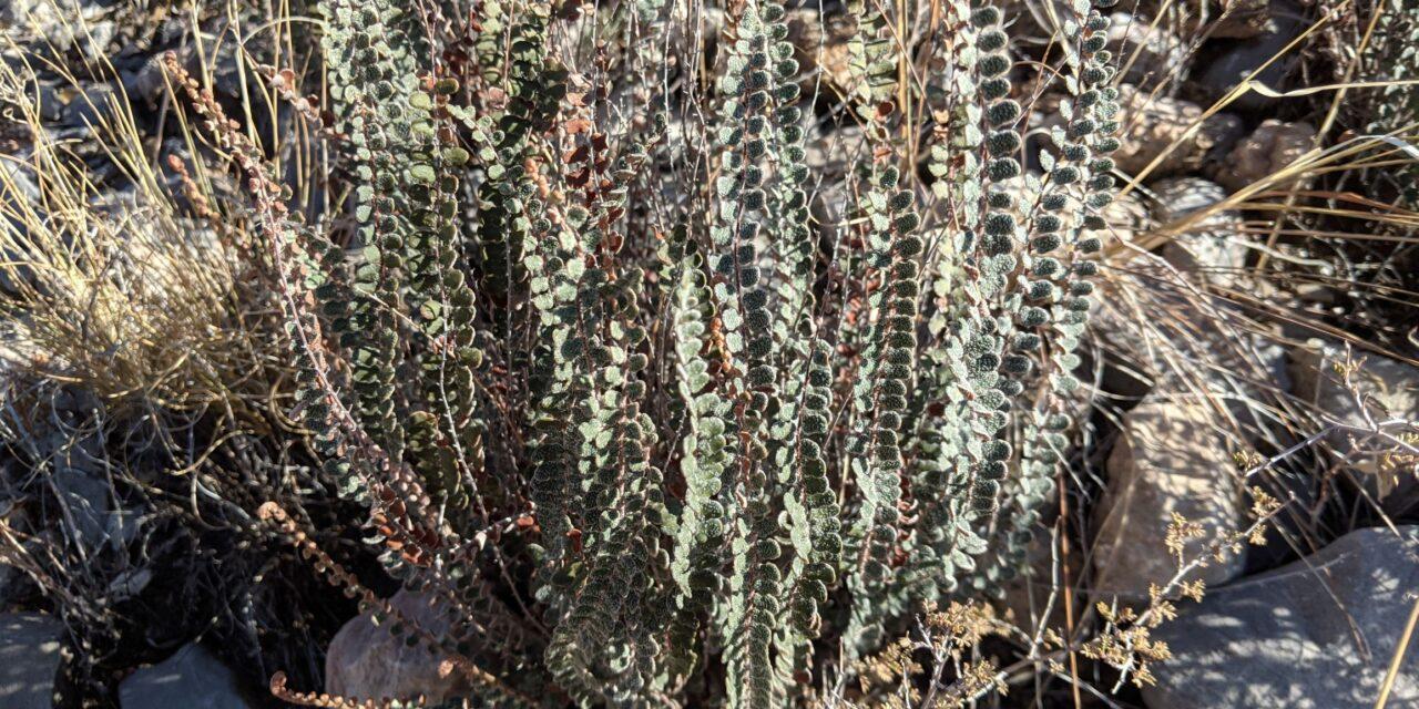 Astrolepis cochisensis ssp. cochisensis