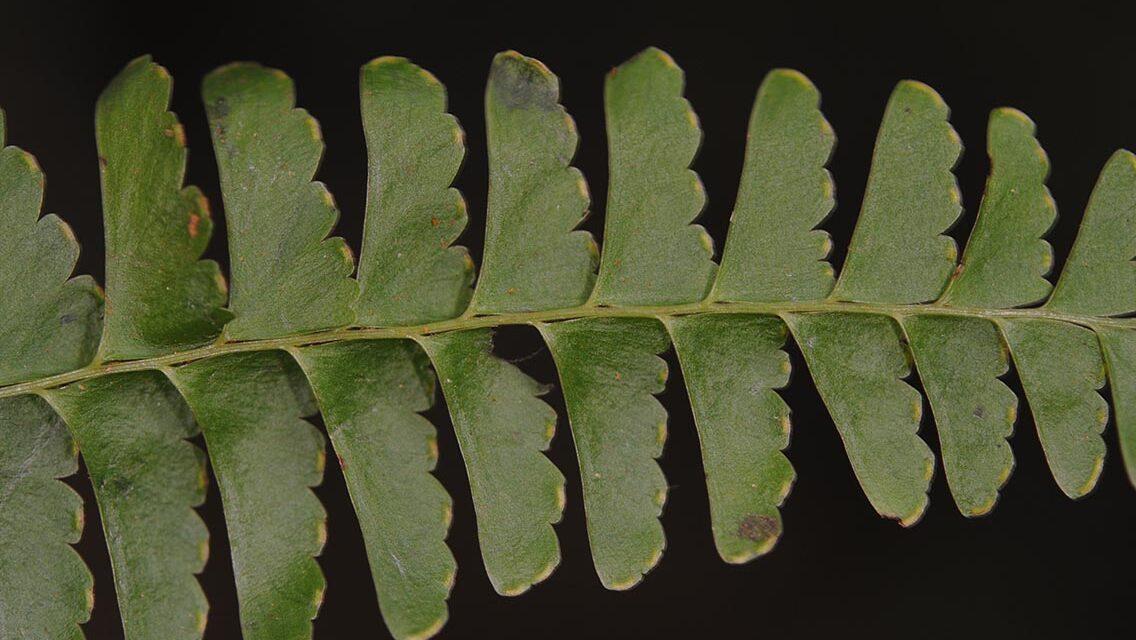 Lindsaea stolonifera