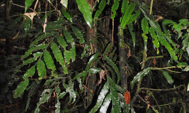 Lomariopsis cf. kingii