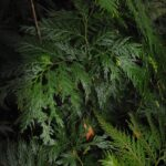 Selaginella rechingeri