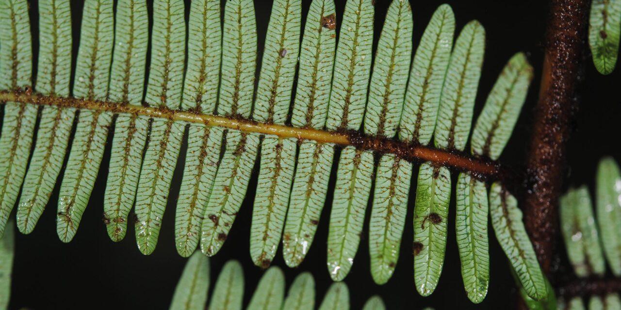 Diplopterygium sordidum