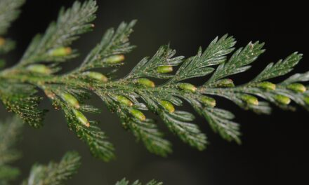 Abrodictyum obscurum
