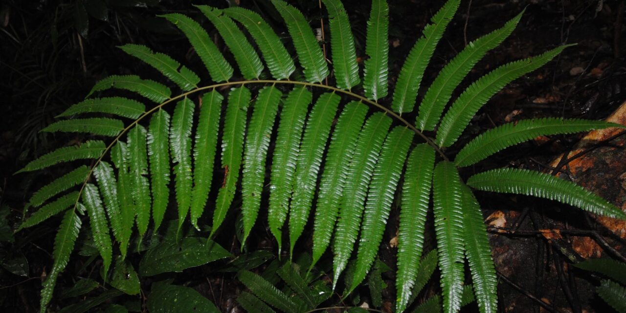 Sphaerostephanos veitchii
