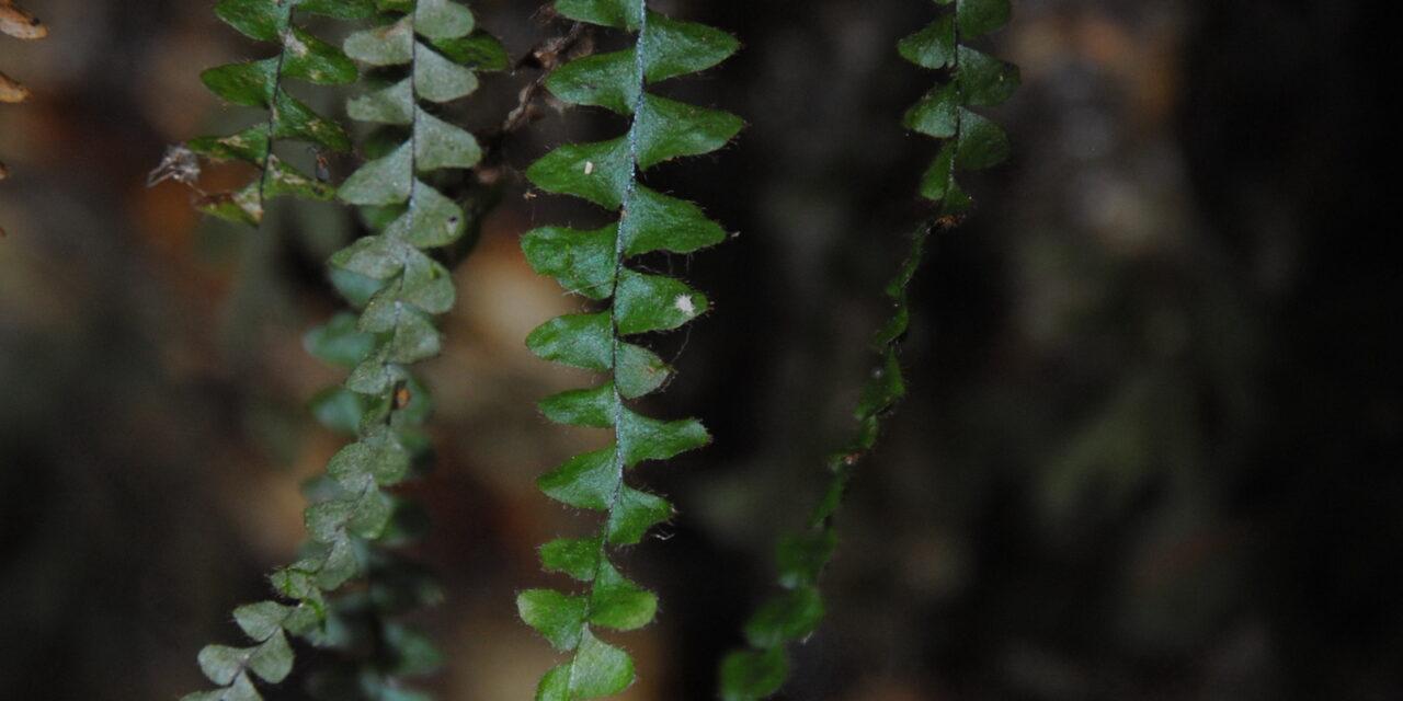 Alansmia elastica