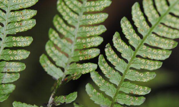 Coryphopteris pubirhachis var. major