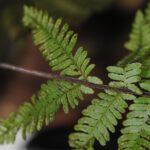 DSC_0416 (Coryphopteris pubirhachis var. major)