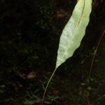 Elaphoglossum hoffmannii