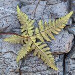 Star Cloak Fern – Notholaena standleyi – Pteridaceae – Saguaro National Park West – King Canyon Wash (2) (Notholaena standleyi)