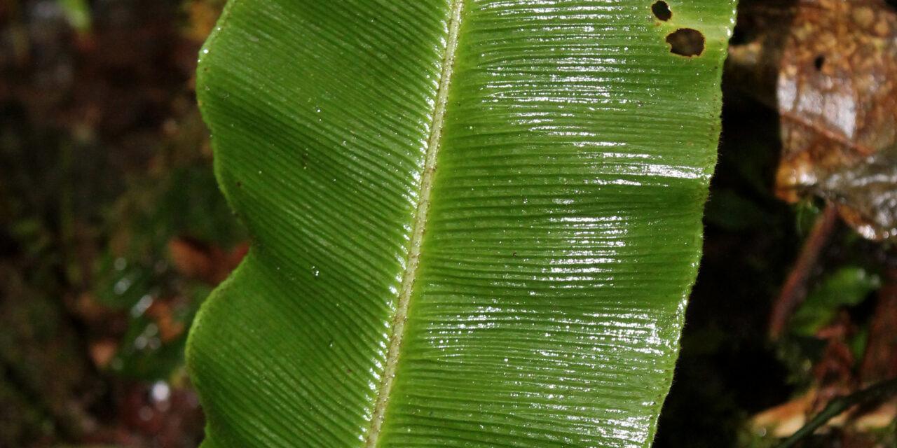 Elaphoglossum bakeri