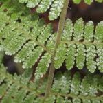 Megalastrum andicola