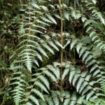 IMG_8135 (Blotiella lindeniana)