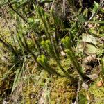 Phlegmariurus riobambensis