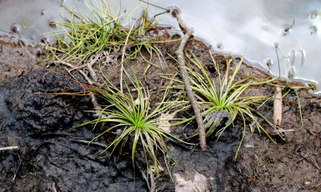 Isoetes palmeri