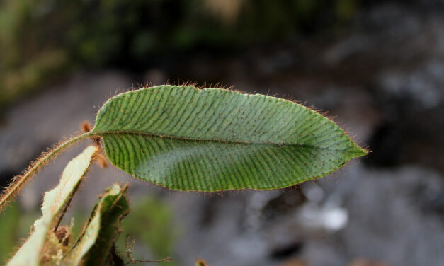 Elaphoglossum