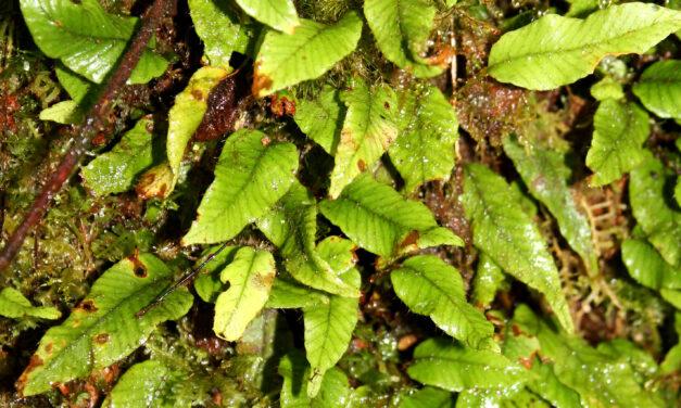 Elaphoglossum heteromorphum