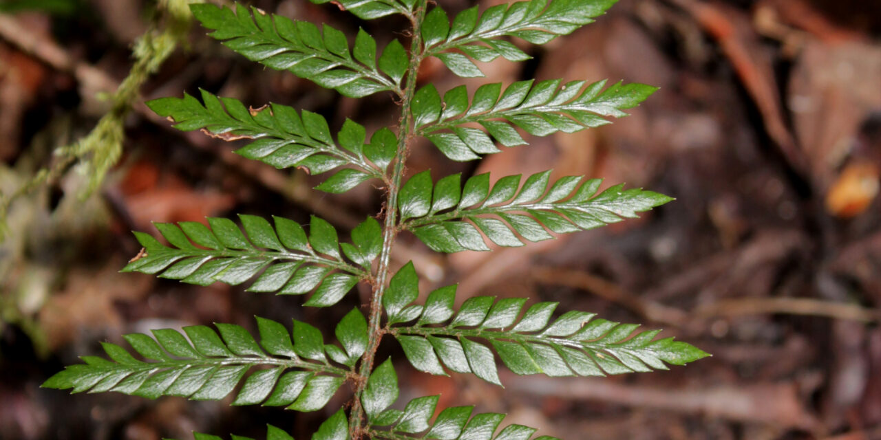Polystichum filiorum