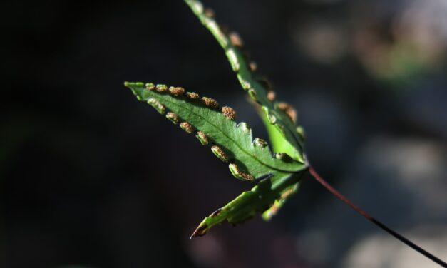 Doryopteris triphylla