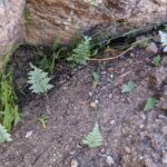 Myriopteris sp – Catalina State Park – Canyon Loop (2) (Myriopteris sp)