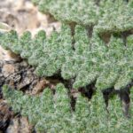 Myriopteris sp