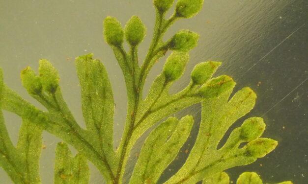 Hymenophyllum polyanthos (fujisanense type)