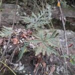 Doryopteris lorentzii