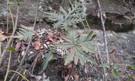 Doryopteris sp.
