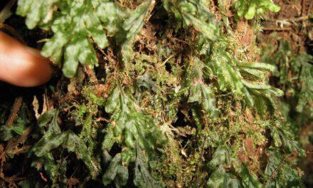 Hymenophyllum saenzianum