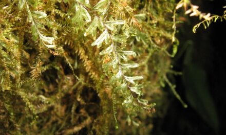Hymenophyllum elegans