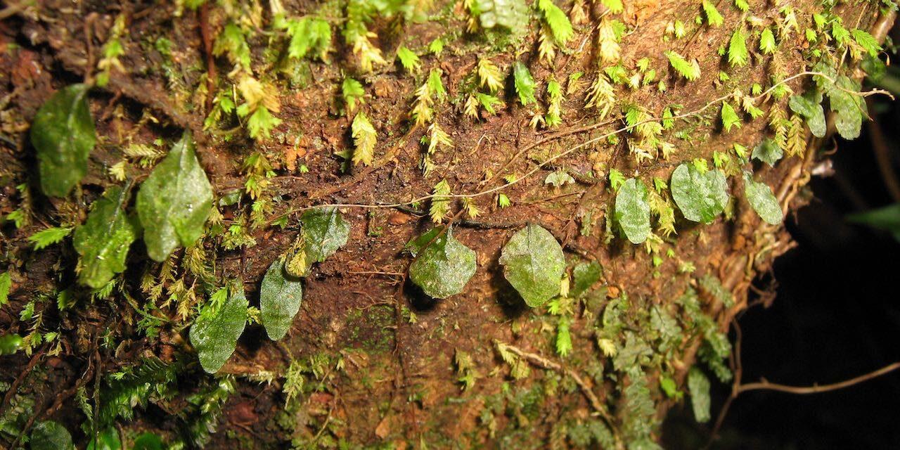 Didymoglossum kapplerianum