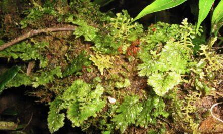 Hymenophyllum ectocarpon