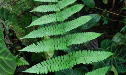 Megalastrum longipilosum
