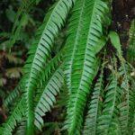 Lomaridium fragile