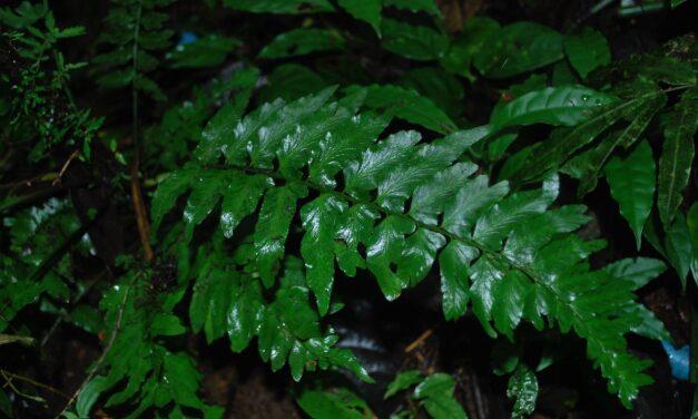 Hymenasplenium volubile