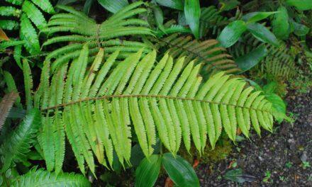 Steiropteris decussata var. costaricensis