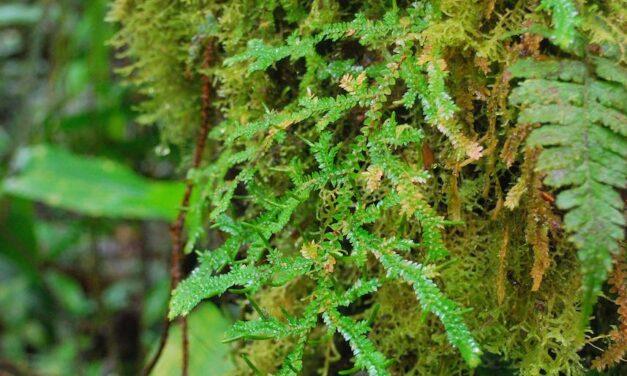 Selaginella diffusa