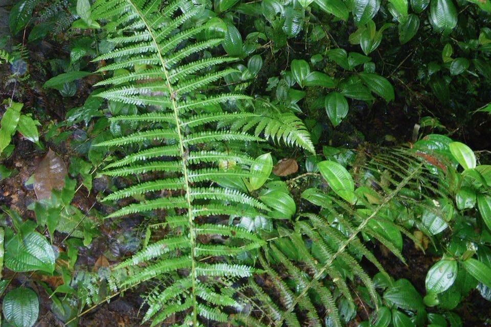 Amauropelta oaxacana
