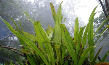 Elaphoglossum ciliatum
