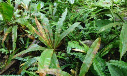 Oleandra decurrens