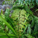 Dryopteris patula